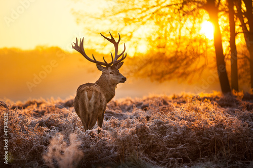 Fototapete Red Deer in morning Sun.