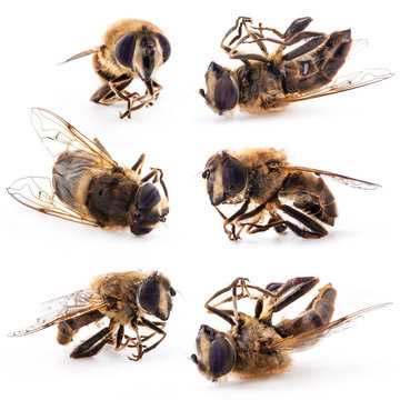 Collection of honey bee isolated on white background