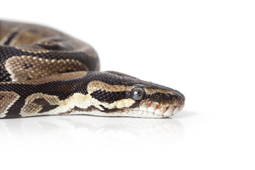Portrait of Python closeup