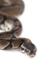 Portrait of Python snake