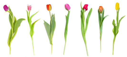 Photo sur Plexiglas Tulip set of tulips