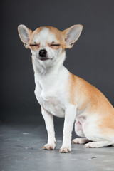 Chihuahua dog on grey background. Very small. Studio shot.