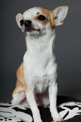 Chihuahua dog sitting on pillow against grey background.