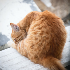 The Jerusalems red cat