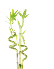 beautiful green bamboo isolated on white