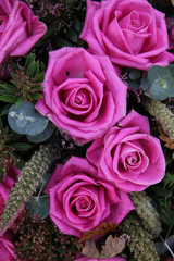 purple pink roses
