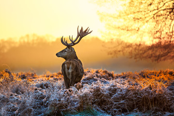 Wall Mural - Red deer in morning sun