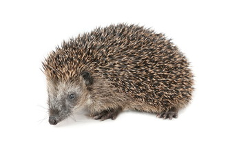 Cute hedgehog walking and sniffing around