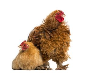 Crossbreed rooster, Pekin and Wyandotte, standing