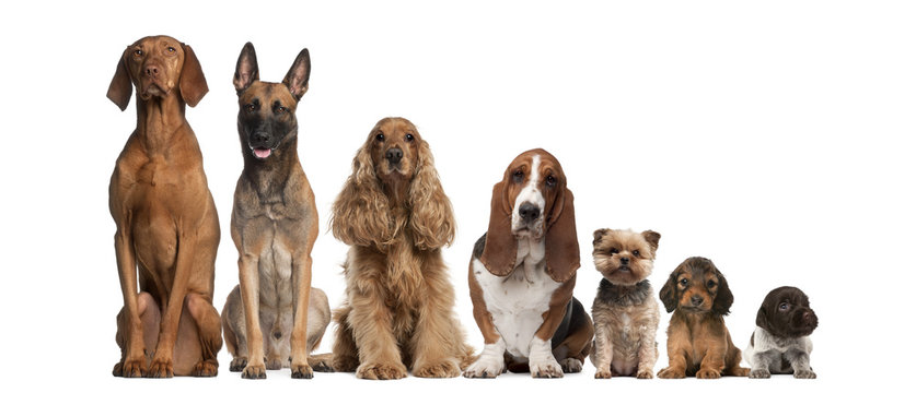 Group of brown dogs sitting, from taller to smaller