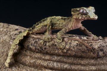 Wall Mural - Cork-bark gecko / Uroplatus pietschmanni