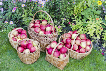 yellow sweet apples in baskets