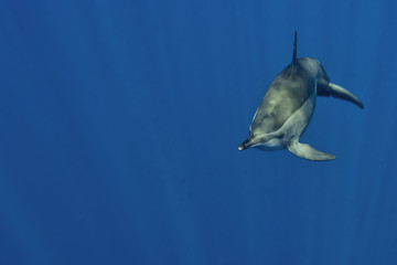 An isolated dolphin looking at you in the deep blue sea