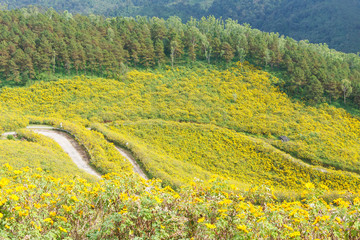 The field of yellow flowers