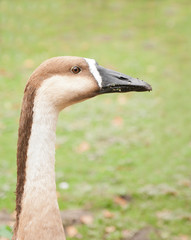 Portrait of a swan goose