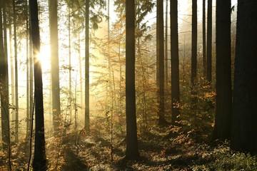Keuken foto achterwand Bos in mist Autumn coniferous forest on a foggy morning