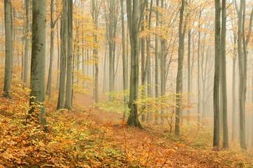 Keuken foto achterwand Bos in mist Autumn beech forest surrounded by mountain mist