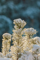 Small fir branches covered with snow