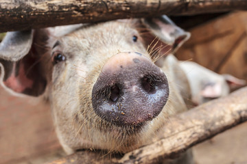 Curious young pig in a wooden stable