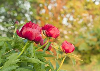Peony flowers in garden