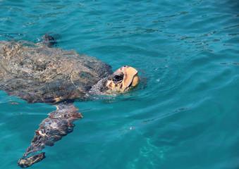 big sea turtle float