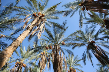 Oasis of dates palms