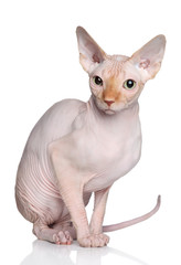 Wall Mural - Sphynx cat on white background
