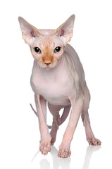 Wall Mural - Sphynx cat on a white background