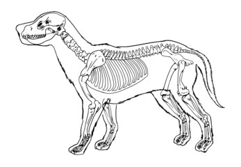 Dog skeleton outline