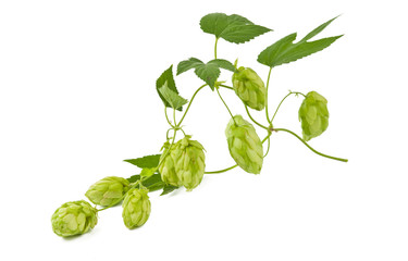 branch of hops isolated
