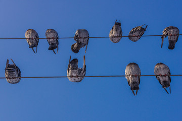Pigeons on electrical cables