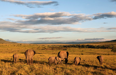 Elephant Sunset at Amboseli - Kenya