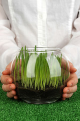 Hands holding glass vase with growing grass