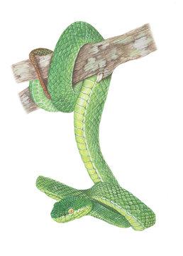 Green-Pit-Viper Snake