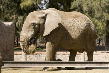 Elephant Eating Hay