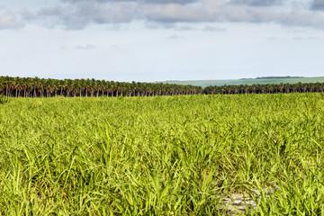 Large plantation of sugarcane and coconut