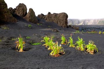 Maîs planté sur des cendres volcaniques, île de Fogo.