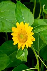 Close up of yellow sun flower