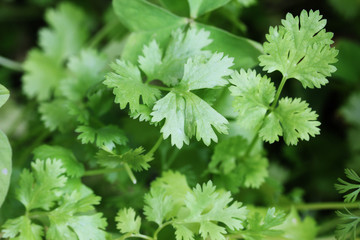Fresh organically grown cilantro or coriander(coriandrum sativum