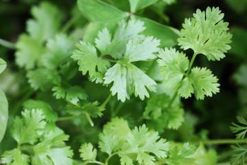 Fresh organically grown cilantro or coriander(coriandrum sativum