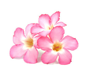 Floral background. Close up of Tropical flower Pink Adenium