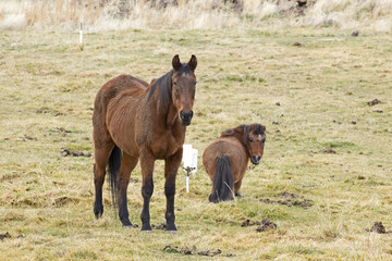 An old brown horse and a small brown pony in grass field