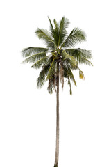 Coconut palm tree .