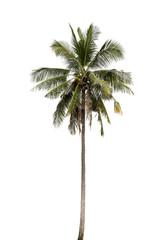 Coconut palm tree .