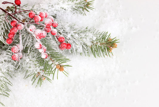 Rowan berries with spruce covered with snow