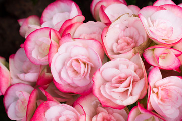 Beautiful pink and white rose flowers