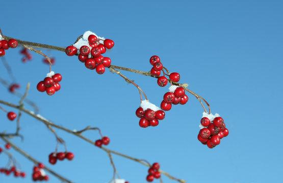 cotoneaster im Winter