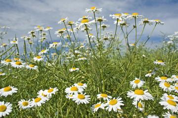 Meadow, wildflowers daisy summer.