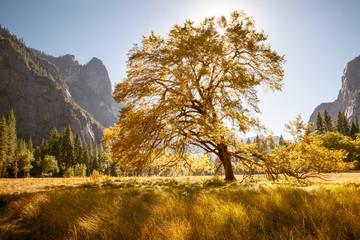 Big Oak, Yosemite Valley