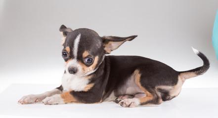 portrait of a cute purebred puppy chihuahu